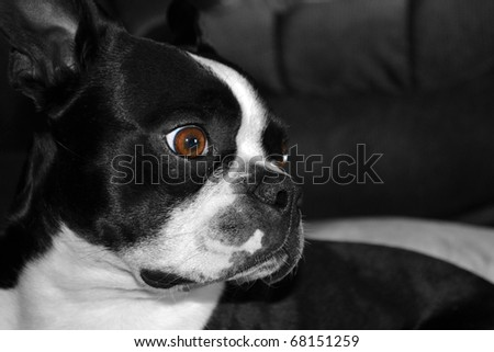 Boston terrier puppy resting on a couch. - stock photo