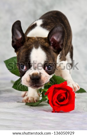 Boston terrier puppy stand and chew on flower