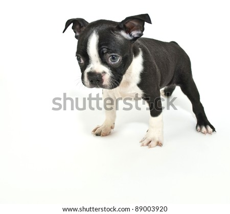 Boston Terrier puppy that looks like he just got himself in trouble for something and is sorry, on a white background.