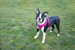 Boston Terrier puppy wearing a pink harness. Standing on grass looking up at the camera
