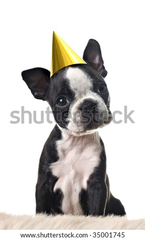 Boston terrier puppy, with party hat, isolated on white.