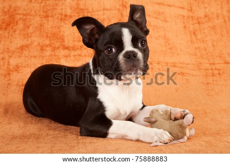 Boston Terrier puppy with toy on brown background