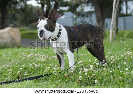 Boston Terrier standing watching what is going on