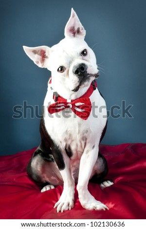 Boston Terrier wearing bow tie posing for picture