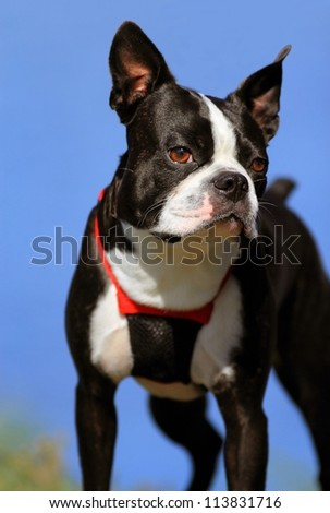 Boston terrier with blue sky background