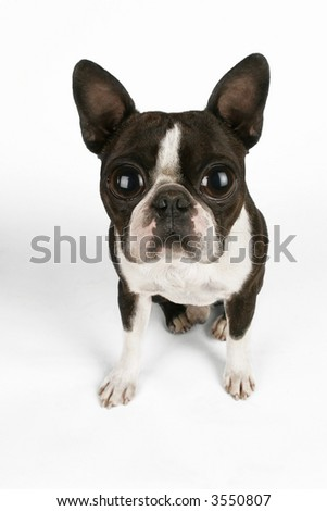 boston terrier with large eyes