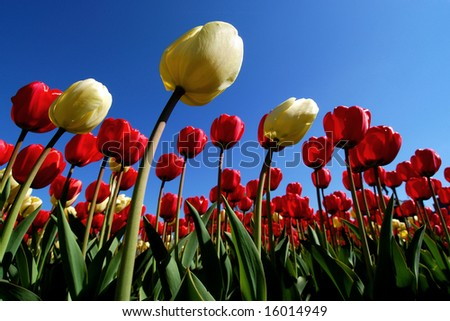 Boston Tulip