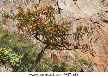Boswellia tree � frankincense tree in blossom - stock photo