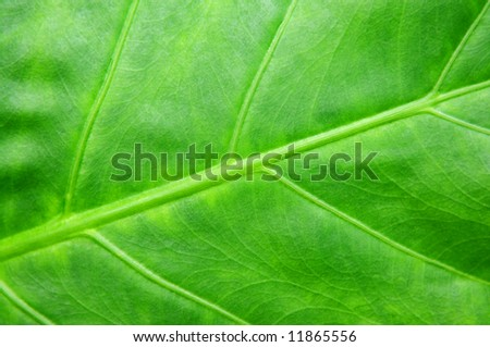 Botanical abstract background of green leaf of tropical plant