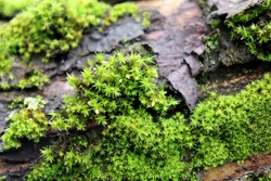 Botanical background. Large type of moss, lichen on a tree. Macro photo. Texture