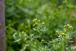 Botanical collection, Ruta graveolens medicinal plant or strong smelling rue, commonly known as rue or herb-of-grace, is  species of Ruta grown as ornamental plant and herb.