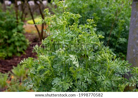 Botanical collection, Ruta graveolens medicinal plant or strong smelling rue, commonly known as rue or herb-of-grace, is  species of Ruta grown as ornamental plant and herb. Foto stock ©