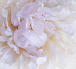 Botanical concept, invitation card - Soft focus, abstract floral background, white peony flower petals. Macro flowers backdrop for holiday brand design
