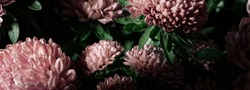 Botanical floral dark moody banner or background with pink asters flowers bouquet, closeup, copy space, greenhouse and indoor garden concept