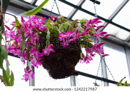 Botanical Garden. Schlumbergera. Potted cacti in a subtropical greenhouse. Christmas cactus, Thanksgiving cactus, crab cactus and holiday cactus.