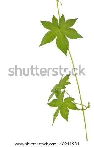botanical green border made of ivy leaves ez canvas