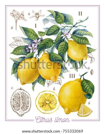 Botanical lemon. Watercolor