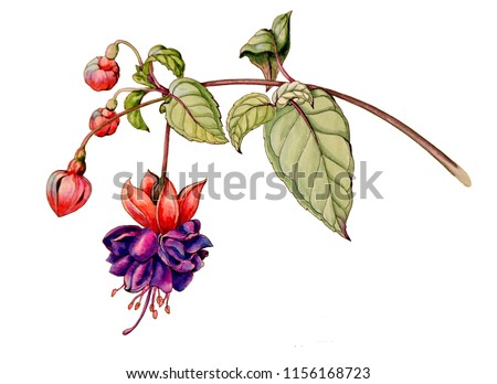Botanical watercolor graphic illustration of a fuchsia flower with buds and leaves isolated on a white background. For wedding cards. graphics grade trailing dark eyes