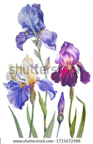 Botanical watercolor illustration. Vintage. Royal irises are purple, lilac and yellow-blue. Summer flowers. Leaves, greens, flower Bud, blooming flowers. Elements isolated on a white backgr Foto stock ©