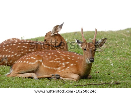 Both axis deer isolated with green grass