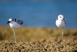 Both of Crab plovers(Dromas ardeola), angle view, front shot, its haven't been for many years to Thailand,this migration, status least concern, resting at Laem Pakarang (Coral Cape),Khao Lak, Thailand