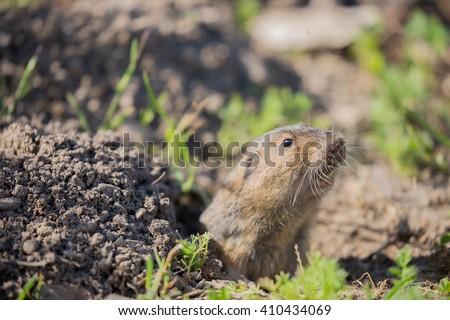 Botta's Pocket Gopher (Thomomys bottae) peeking over the burrow. Santa Clara County, California, USA.