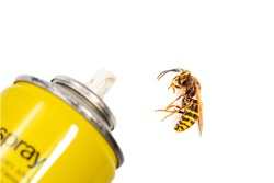 bottle Aerosol for the control of insects and a wasp isolated on white background in detail. European wasp German wasp or German yellow jacket (Vespula germanica) showing in Side view. pest control