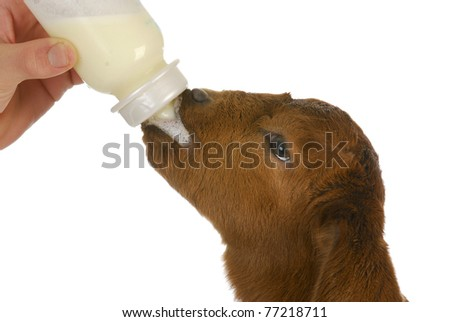 bottle feeding baby goat - south african boer kid 4 days old