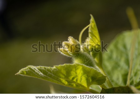 Bottle gourd bud on a homegrown creeper