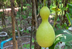 Bottle gourd, Calabash gourd, Flowered gourd, White flowered gourd (scientific name: Lagenaria siceraria), green fruit grows in the garden.