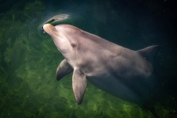 bottle nose dolphin hanging still in green water