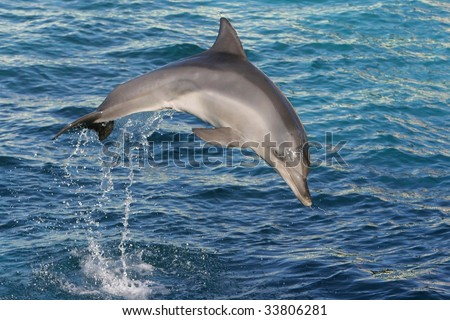 Bottle-nose dolphin jumping out of blue water
