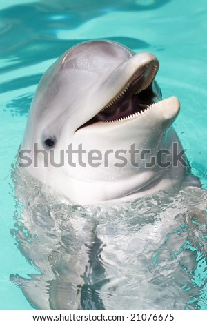 bottle-nose dolphin smiling to the camera
