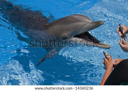Bottle-nose dolphin with mouth open waiting to be fed by trainers.