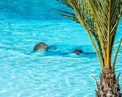 Bottle Nose Dophin in blue pool