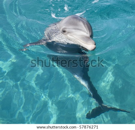 Bottle-nosed dolphin in the Red sea.