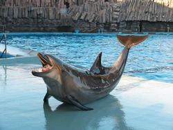 Bottle-nosed dolphin Tursiops truncatus in the water park