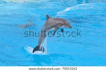 Bottlenose dolphin in the aquarium #70053262