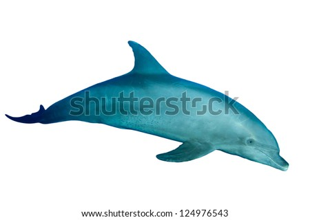 Bottlenose Dolphin isolated on white background