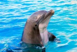 Bottlenose dolphin, its scientific name is Tursiops truncatus