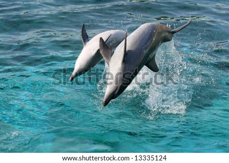 Bottlenose dolphin leaping out of the blue water onto their backs