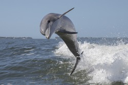 Bottlenose Dolphin - (Tursiops truncatus)