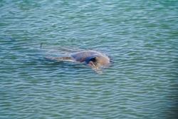 Bottlenose Dolphin (Tursiops truncatus) Monkey Mia Western Austr