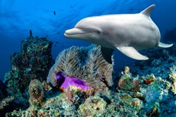 bottlenose dolphin underwater on reef background looking at you