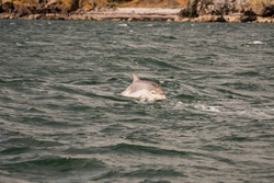 Bottlenose Dolphins off the coast of Scotland
