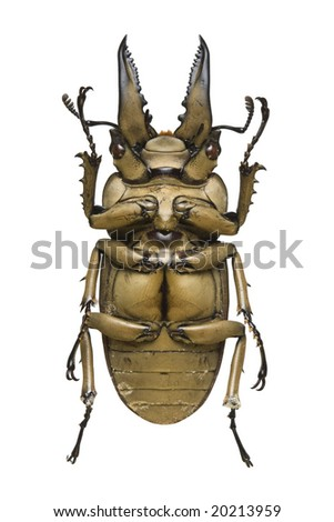 Bottom view of a bronze metallic Stag Beetle (Allotopus rosenbergi) from the Lucanidae family originating from Indonesia - stock photo