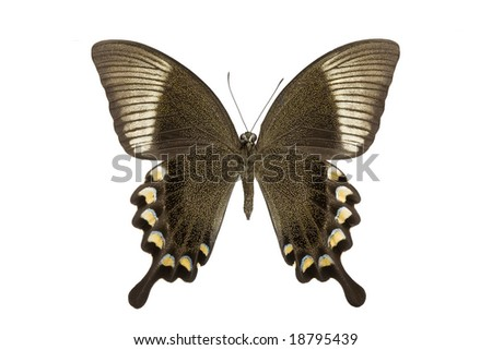 Bottom view of a swallowtail or birdwing butterfly (papilio blumei fruhstorferi) from the papilionidae family originating in indonesia isolated on a white background