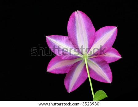 bottom view of clematis against black background
