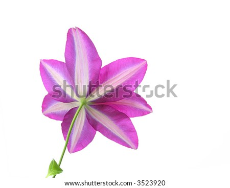 bottom view of clematis isolated on white - stock photo
