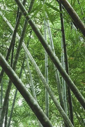 Bottom view of green bamboo forest in summer. Abstract stalk layers, shadow, shady and green foliage. Zen, meditation, relaxation concepts. Focus on bamboo stalk.